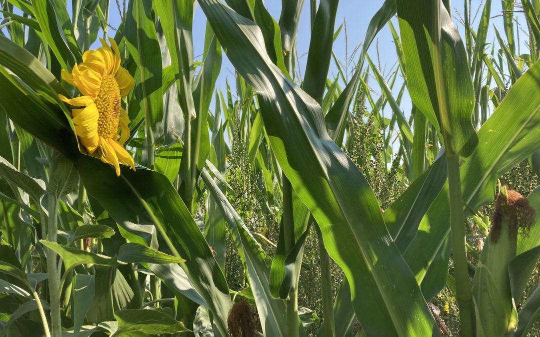Almthof : du labyrinthe de maïs aux vaches