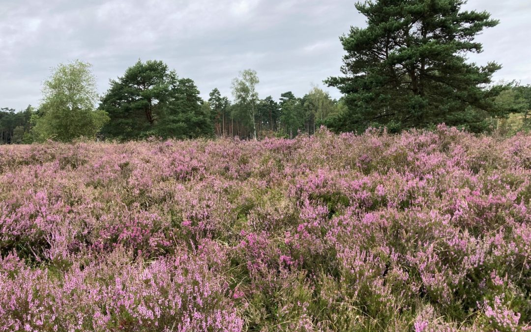 La lande de Büsenbachtal en pleine floraison